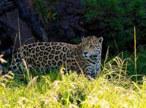 Het dierenpark vangt ook panters, leeuwen en luipaarden op